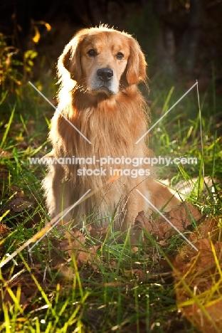 Golden Retriever sitting in greenery