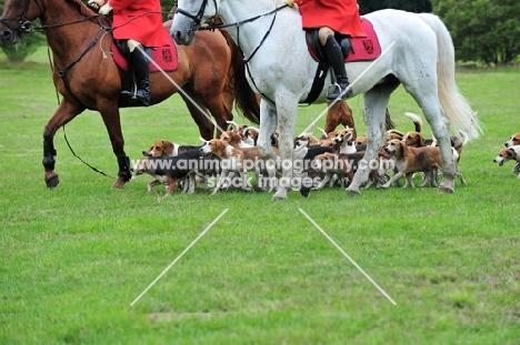 Beagles on a hunt