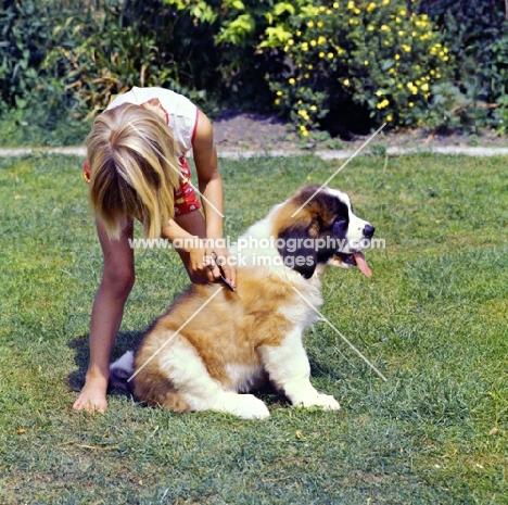 young girl grooming a st bernard puppy