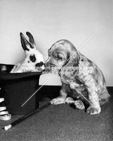 Cocker Spaniel puppy with rabbit