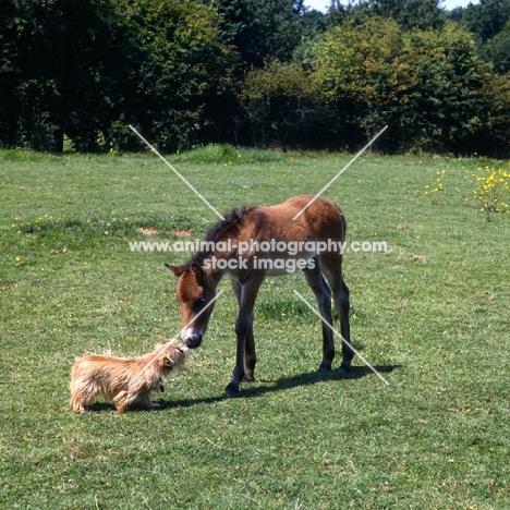 Exmoor foal meets norfolk terrier