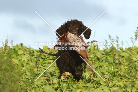 Irish water spaniel retrieving a pheasant