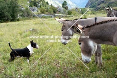 bull terrier meeting donkeys