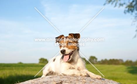 jack russell terrier in summer