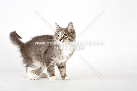 full body grey tabby and white kitten
