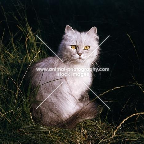 smoke Persian cat sitting in grass