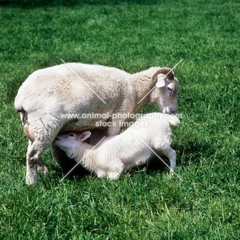 lamb drinking