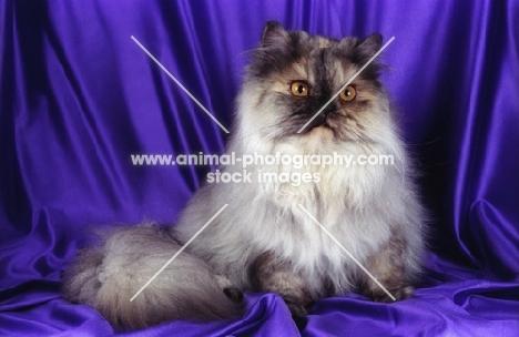 tortie cameo persian cat