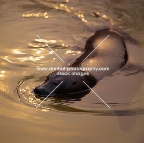 baikal seal in london zoo