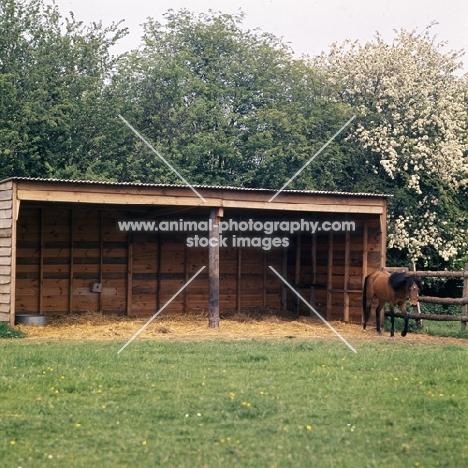 Caspian Pony in field shelter