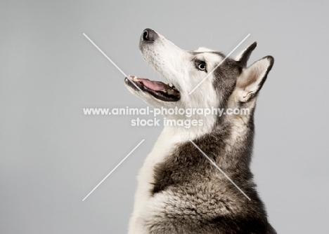 Profile of Siberian Husky in studio.