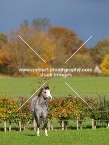 Welsh Mountain Pony in field