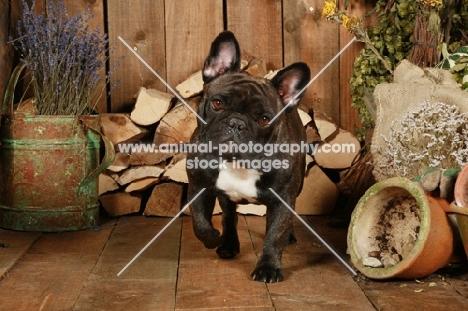 French Bulldog on wooden floor
