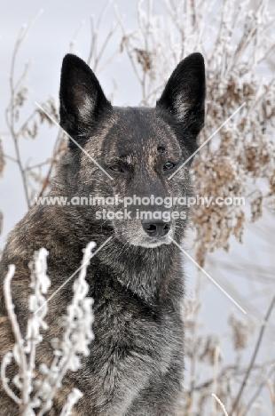 Dutch Shepherd Dog, shorthaired