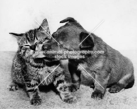 puppy kissing kitten