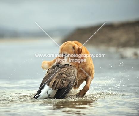 Labrador Retriever retrieving bird from water