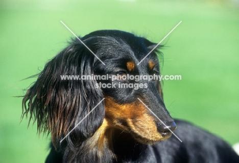 miniature longhair dachshund