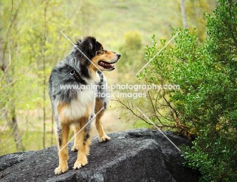 Australian Shepherd standing on rock
