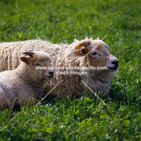portland ewe and lamb at norwood farm