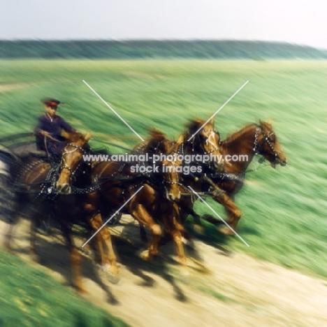 tachanka with 4 Don horses galloping
