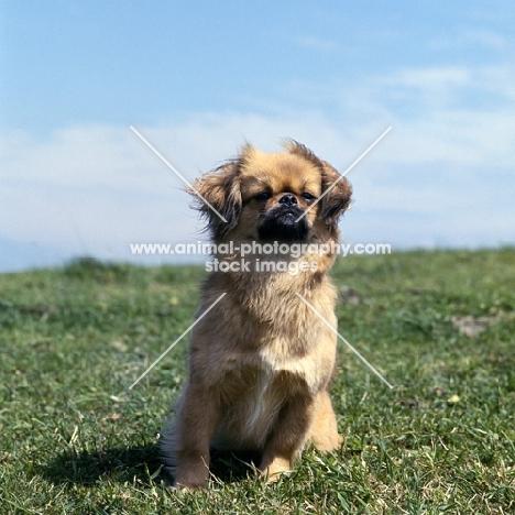 tibetan spaniel sitting on grass in wind