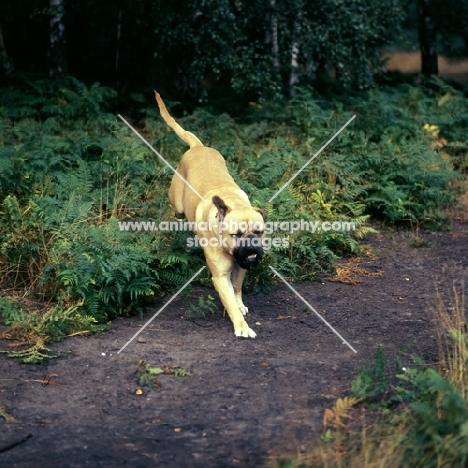 bullmastiff racing through bracken in forest