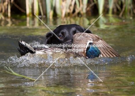 Labrador retrieving duck from water