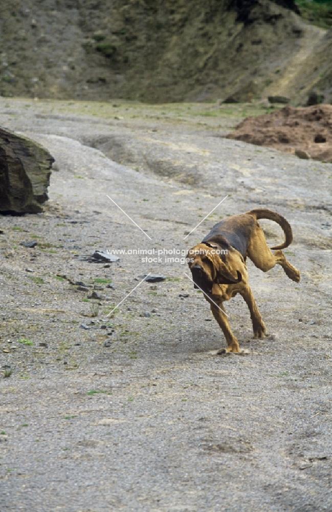 bloodhound, ch barsheen magnus (mag), running full tilt