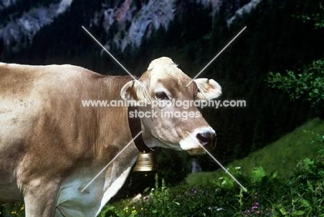 brown swiss in switzerland