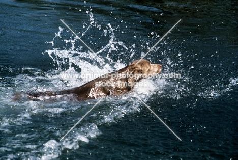 longhaired weimaraner swimming