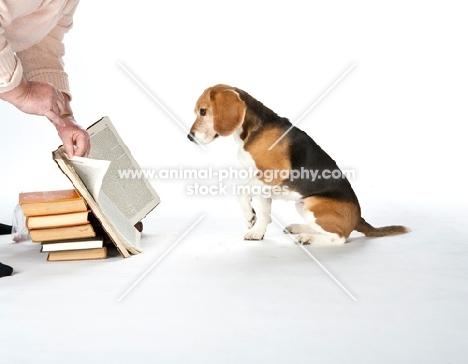Beagle reading book