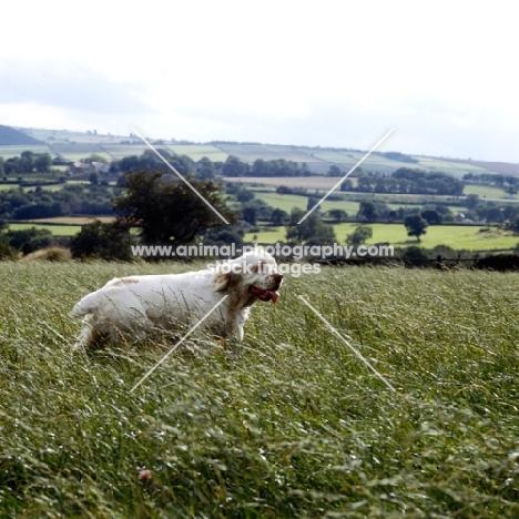 clumber spaniel walking in field in long grass