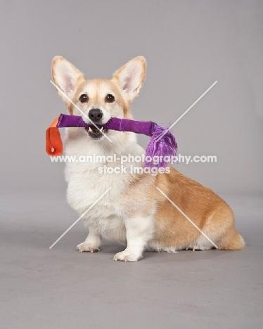 Pembroke Corgi with toy stick