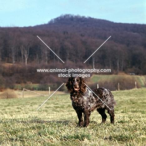 racker von kranichsee, german spaniel, wachtelhund, standing in field in germany