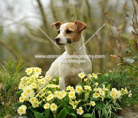 Jack Russell Terrier near flowers