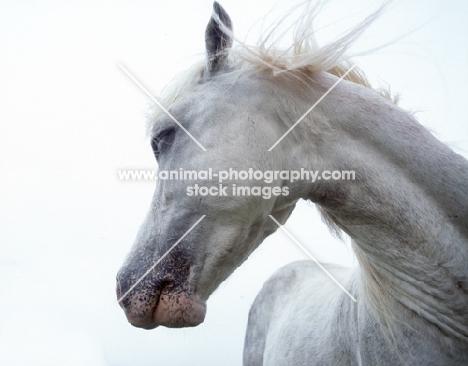 wild white Welsh Pony