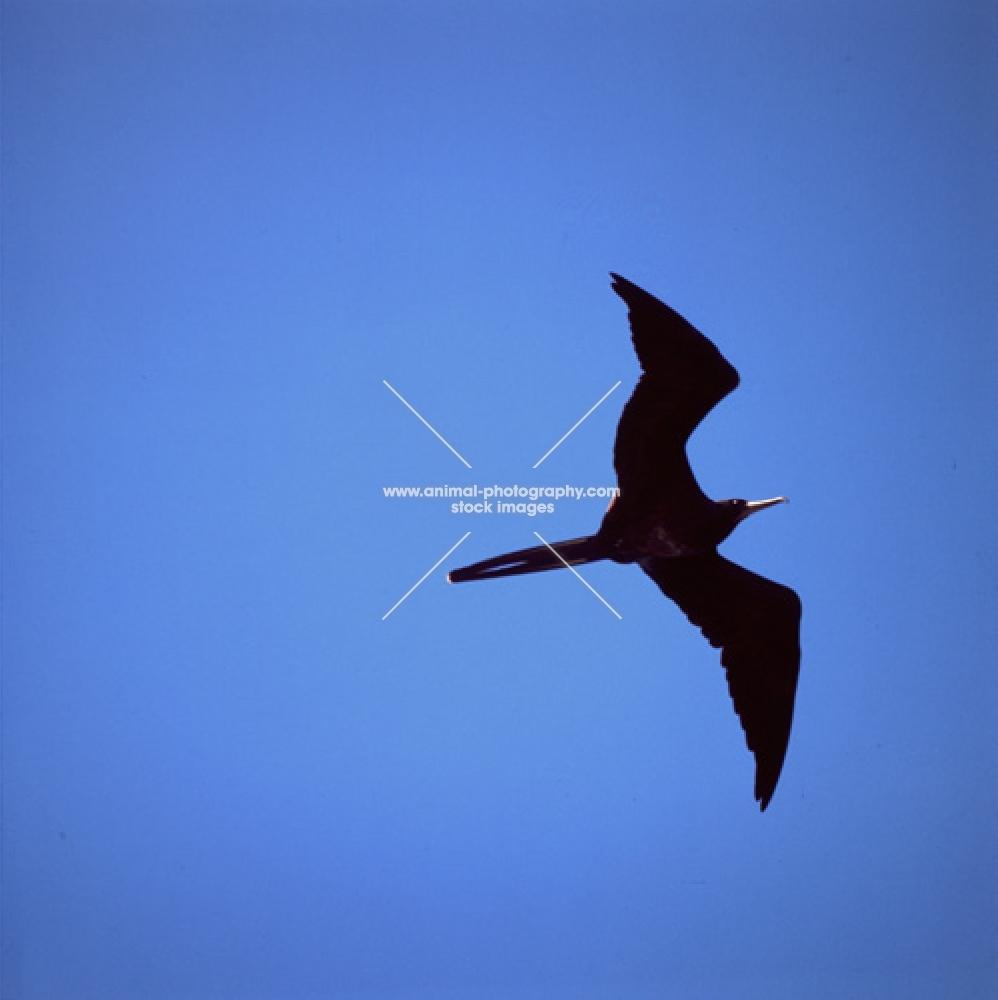 great frigate bird flying at punta espinosa, fernandina island, galapagos islands