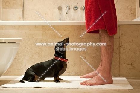 Dachshund following owner into bathroom