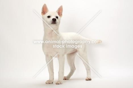 Kishu puppy on white background
