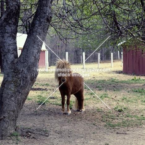 full body shot of american miniature horse, shadyacres