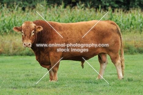 south devon bull