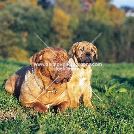 Dogue de bordeaux with puppy