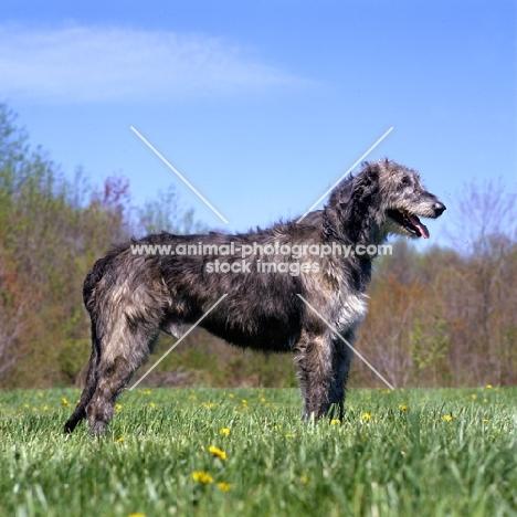 castlekeeper clancy malone irish wolfhound in usa