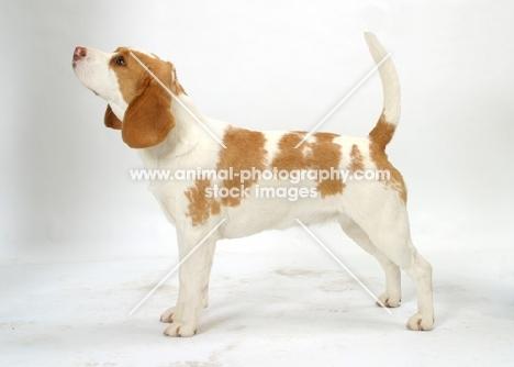 tan and white Beagle