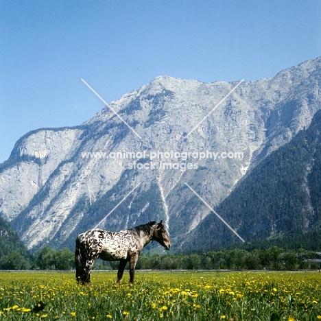 736 jaggler-nero x, noric horse in valley in  austria