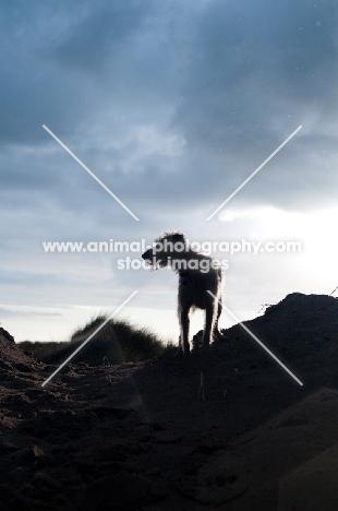 Mongrel dog standing on dune