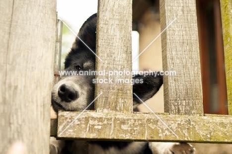 Husky Crossbred dog peering through fence
