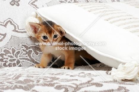 ruddy Abyssinian kitten under a cushion