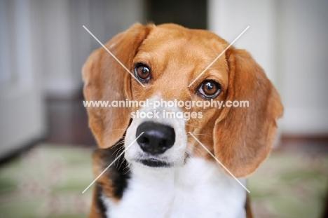 beagle sitting on rug