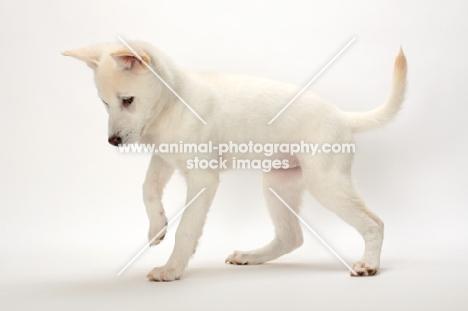 Kishu puppy, side view